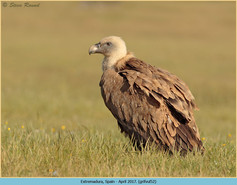 griffon-vulture-52.jpg