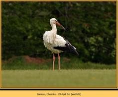 white-stork-02.jpg