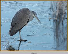 grey-heron-45.jpg