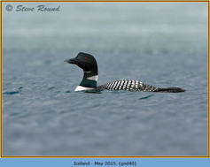 great-northern-diver-40.jpg