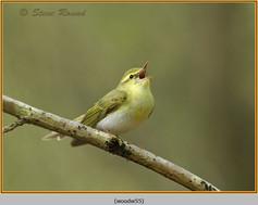 wood-warbler-55.jpg
