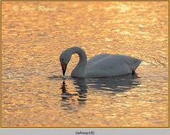 whooper-swan-18.jpg