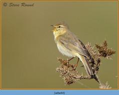 willow-warbler-44.jpg