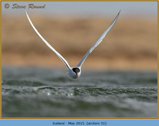 arctic-tern-51.jpg