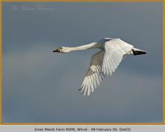 bewick's-swan-03.jpg