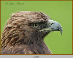 golden-eagle(c)-11.jpg