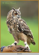 bengal-eagle-owl-02.jpg