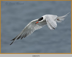 common-tern-17.jpg