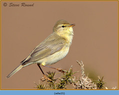willow-warbler-35.jpg