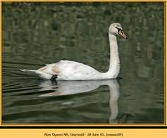 mute-swan-04.jpg