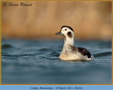 long-tailed-duck-32.jpg