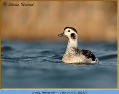long-tailed-duck-32.jpg