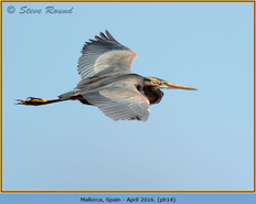 purple-heron-14.jpg