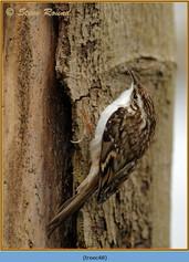 treecreeper-48.jpg
