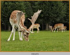fallow-deer-05.jpg