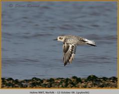 grey-plover-06.jpg