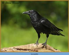 carrion-crow-46.jpg