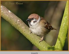 tree-sparrow-29.jpg