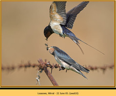 swallow-10.jpg