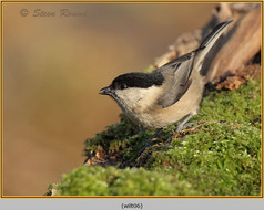 willow-tit-06.jpg