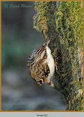 treecreeper-35.jpg