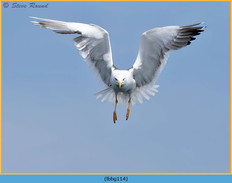 lesser-black-backed-gull-114.jpg