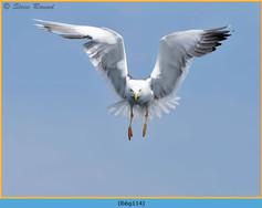 lesser-black-backed-gull-114.jpg