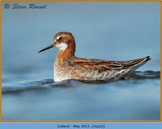 red-necked-phalarope-25.jpg