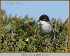 sardinian-warbler-10.jpg