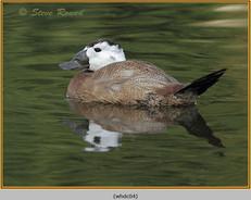 whited-headed-duck-04c.jpg
