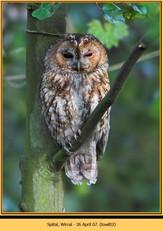 tawny-owl-02.jpg