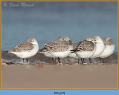 sanderling-62.jpg