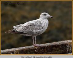 herring-gull-13.jpg