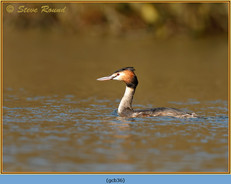 great-crested-grebe-36.jpg