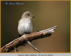 spotted-flycatcher-02.jpg