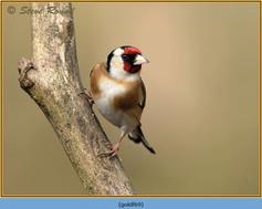 goldfinch-69.jpg