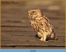 little-owl-28.jpg
