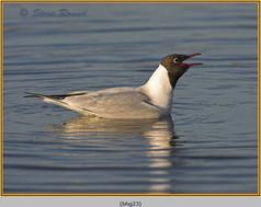 black-headed-gull-23.jpg
