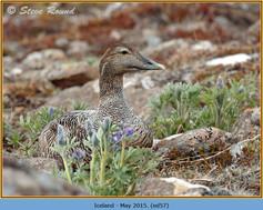 eider-duck- 57.jpg