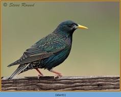 starling-41.jpg