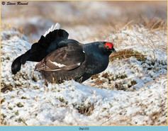 black-grouse-122.jpg
