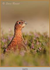 red-grouse-141.jpg