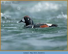 harlequin-duck-11.jpg