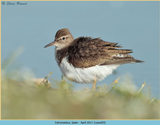 common-sandpiper-29.jpg