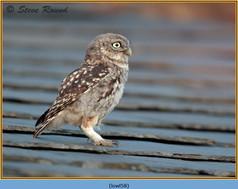 little-owl-58.jpg