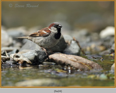 house-sparrow-24.jpg