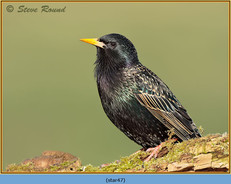 starling-47.jpg
