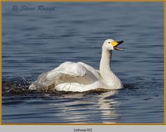 whooper-swan-30.jpg