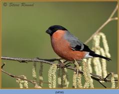 bullfinch-58.jpg