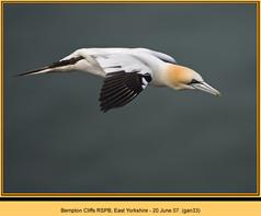 gannet-33.jpg